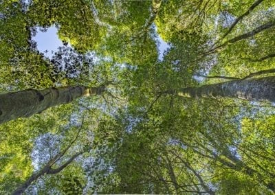 Blue Mountains Rainforest Looking Up
